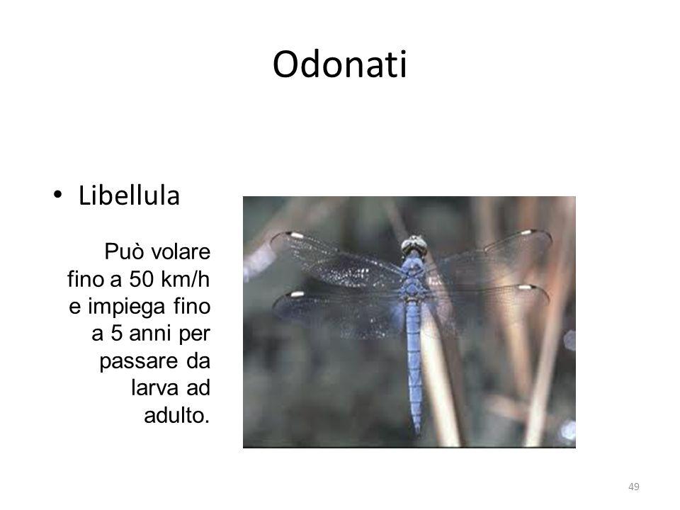 Odonati Libellula Può volare fino a 50 km/h e impiega fino a 5 anni per passare da larva ad adulto. 49