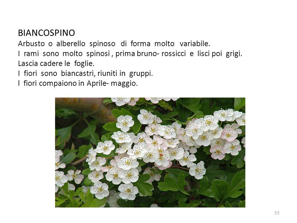 BIANCOSPINO Arbusto o alberello spinoso di forma molto variabile. I rami sono molto spinosi, prima bruno- rossicci e lisci poi grigi. Lascia cadere le