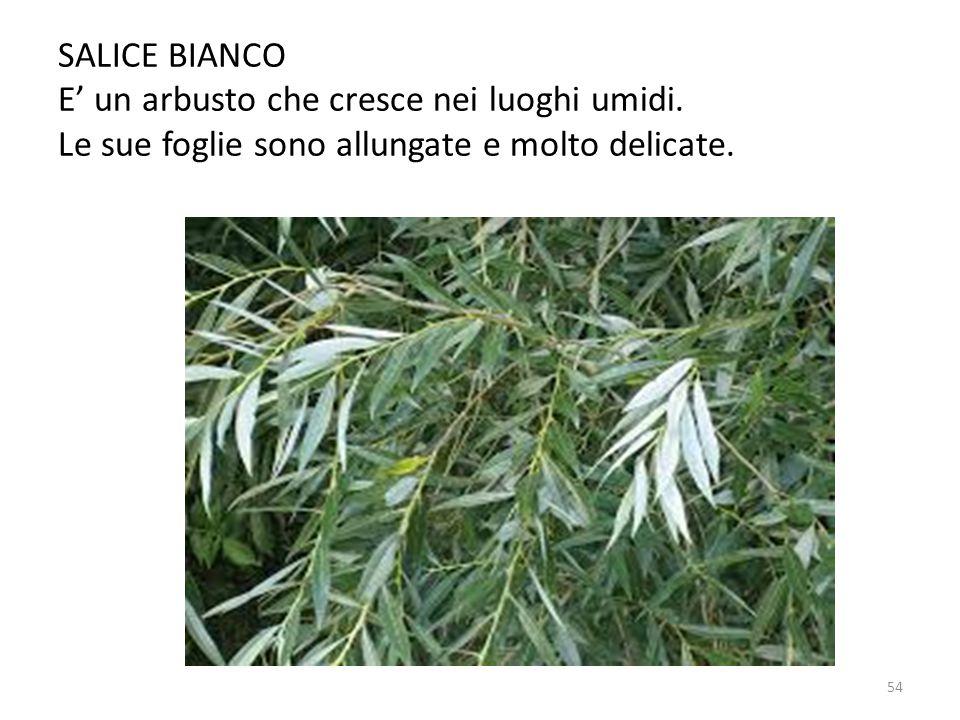 SALICE BIANCO E' un arbusto che cresce nei luoghi umidi. Le sue foglie sono allungate e molto delicate. 54