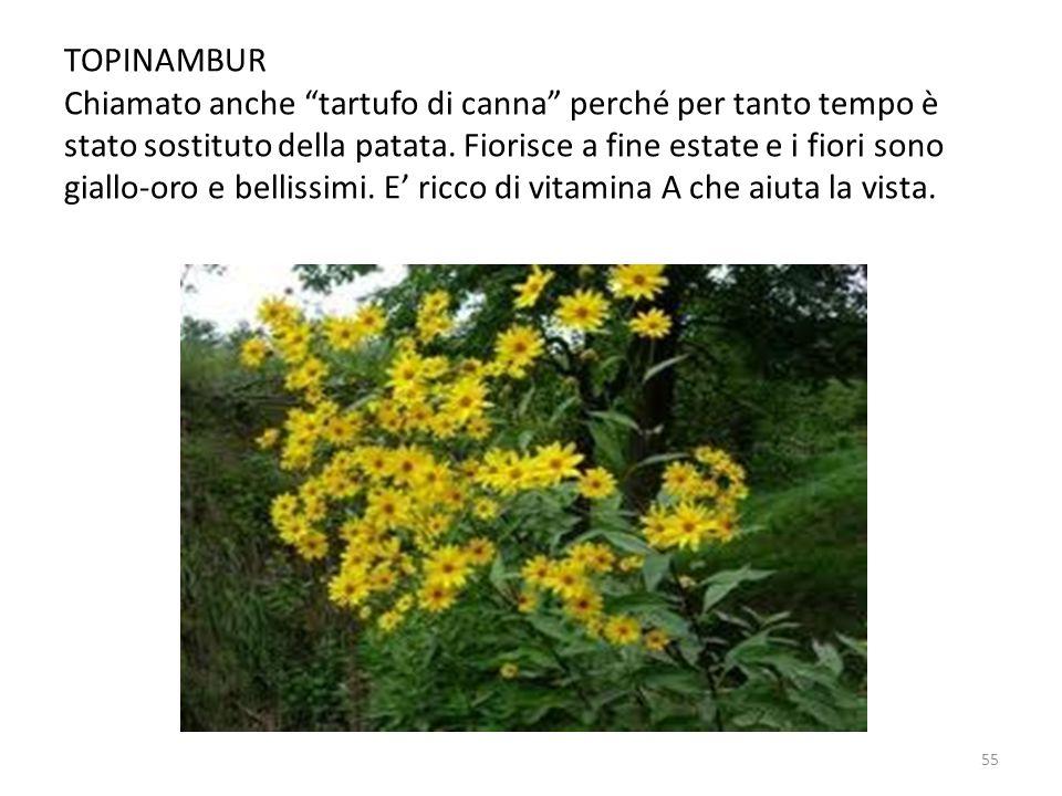 """TOPINAMBUR Chiamato anche """"tartufo di canna"""" perché per tanto tempo è stato sostituto della patata. Fiorisce a fine estate e i fiori sono giallo-oro e"""