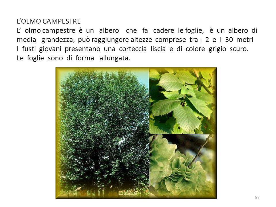 L'OLMO CAMPESTRE L' olmo campestre è un albero che fa cadere le foglie, è un albero di media grandezza, può raggiungere altezze comprese tra i 2 e i 3