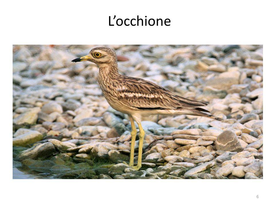 E' una specie rara e quindi protetta. In Italia vivono solo 1000-1500 coppie. 7