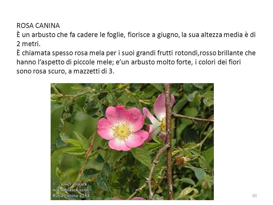 ROSA CANINA È un arbusto che fa cadere le foglie, fiorisce a giugno, la sua altezza media è di 2 metri. È chiamata spesso rosa mela per i suoi grandi