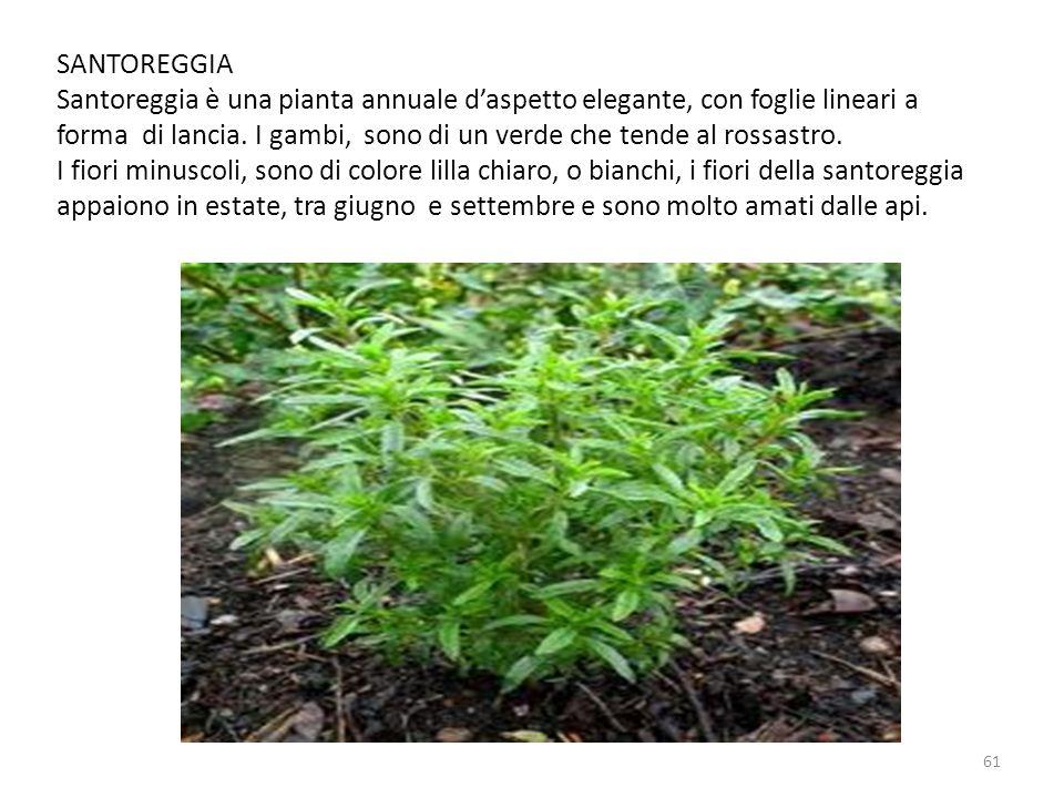 SANTOREGGIA Santoreggia è una pianta annuale d'aspetto elegante, con foglie lineari a forma di lancia. I gambi, sono di un verde che tende al rossastr