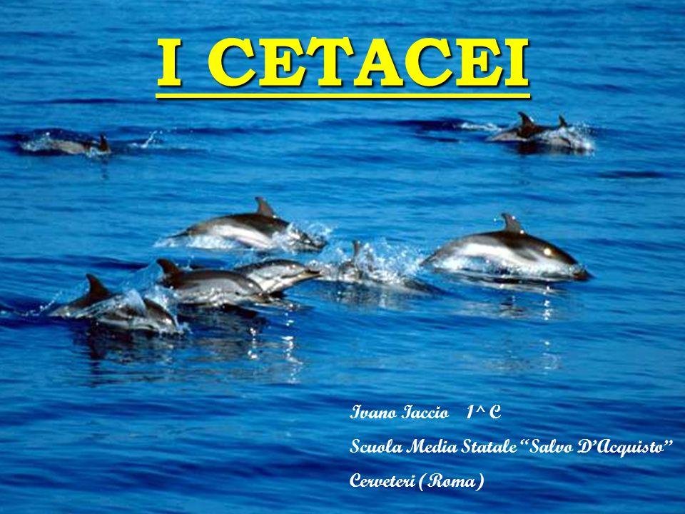 """I CETACEI Ivano Iaccio 1^ C Scuola Media Statale """"Salvo D'Acquisto"""" Cerveteri (Roma)"""