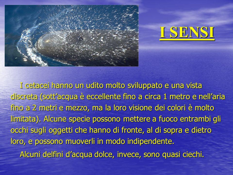 I SENSI I cetacei hanno un udito molto sviluppato e una vista discreta (sott'acqua è eccellente fino a circa 1 metro e nell'aria fino a 2 metri e mezz