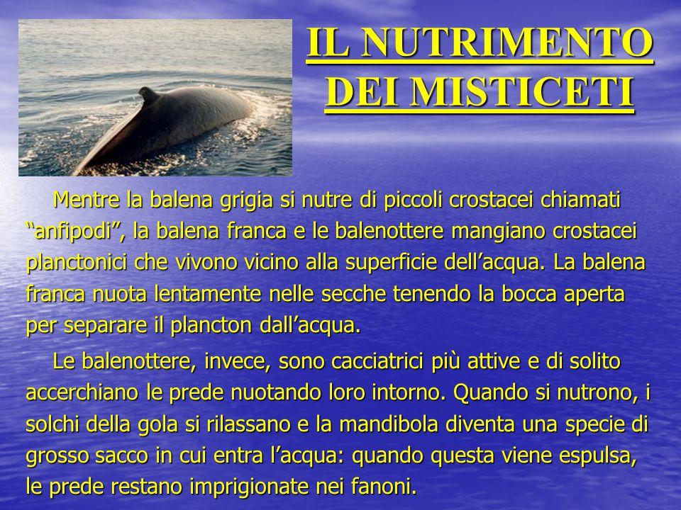 """IL NUTRIMENTO DEI MISTICETI Mentre la balena grigia si nutre di piccoli crostacei chiamati """"anfipodi"""", la balena franca e le balenottere mangiano cros"""
