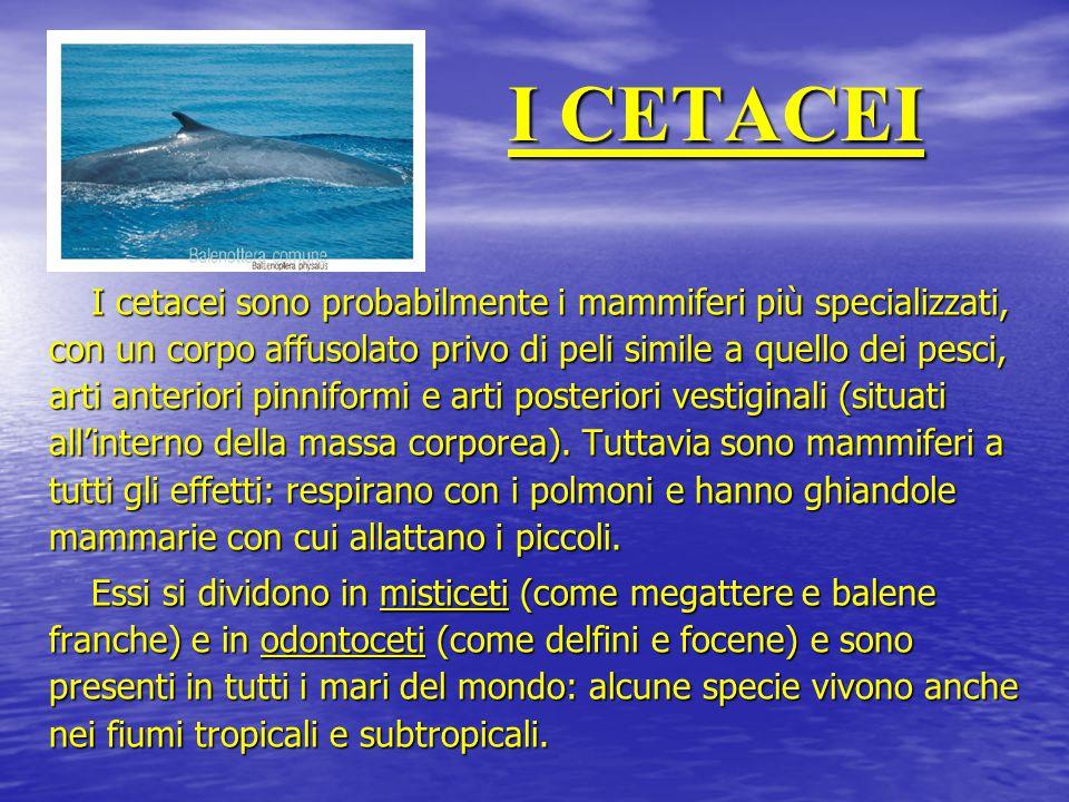 I CETACEI I cetacei sono probabilmente i mammiferi più specializzati, con un corpo affusolato privo di peli simile a quello dei pesci, arti anteriori