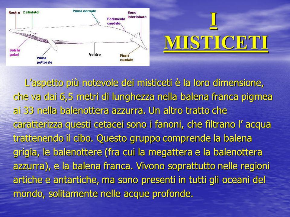 I MISTICETI L'aspetto più notevole dei misticeti è la loro dimensione, che va dai 6,5 metri di lunghezza nella balena franca pigmea ai 33 nella baleno
