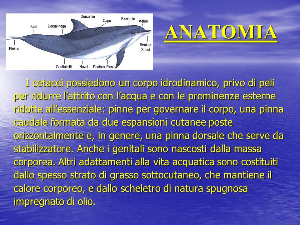 ANATOMIA I cetacei possiedono un corpo idrodinamico, privo di peli per ridurre l'attrito con l'acqua e con le prominenze esterne ridotte all'essenzial