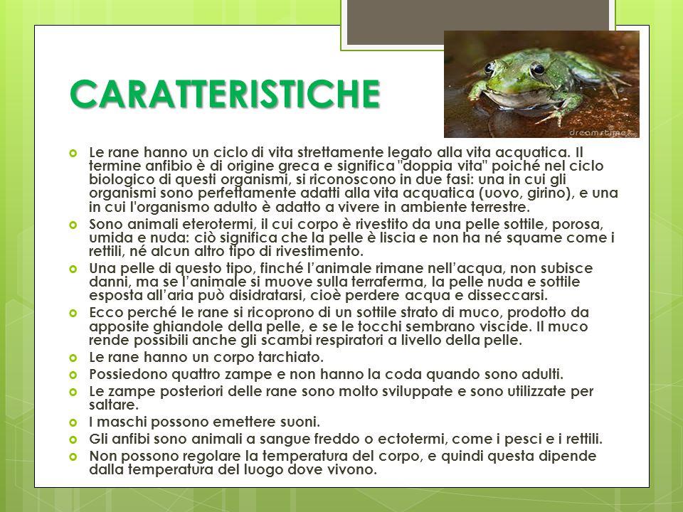 CARATTERISTICHE  Le rane hanno un ciclo di vita strettamente legato alla vita acquatica.