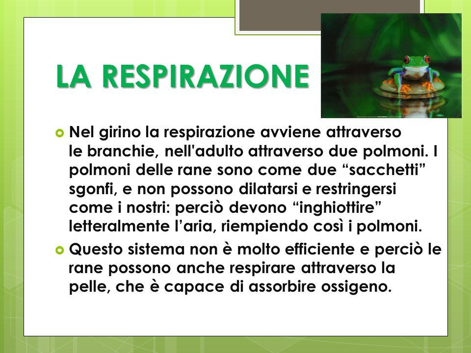 LA RESPIRAZIONE  Nel girino la respirazione avviene attraverso le branchie, nell adulto attraverso due polmoni.