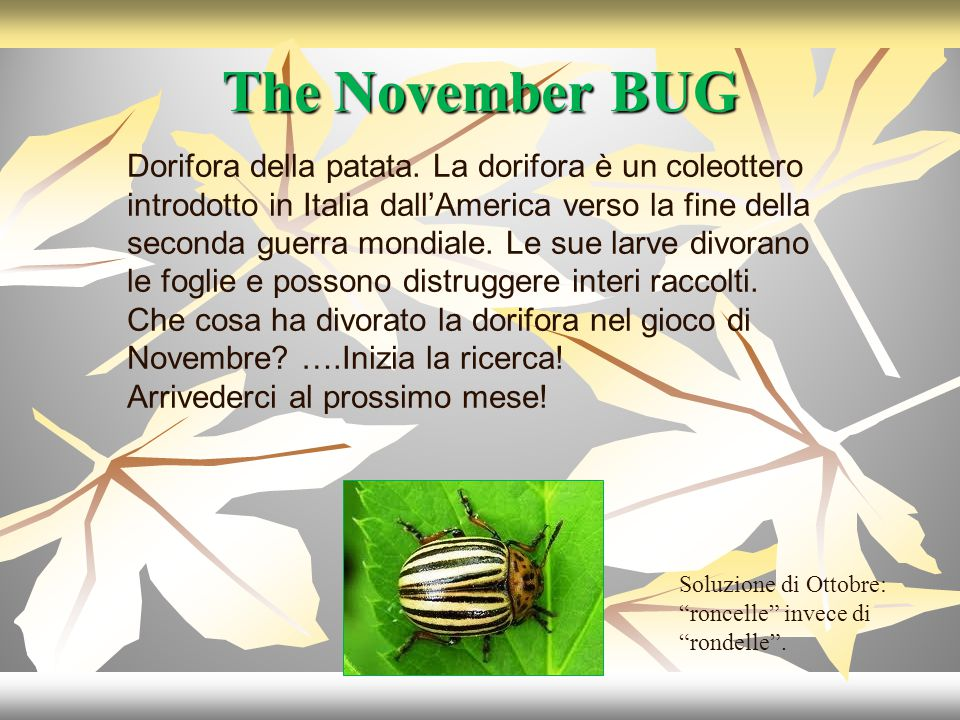 The November BUG Dorifora della patata.
