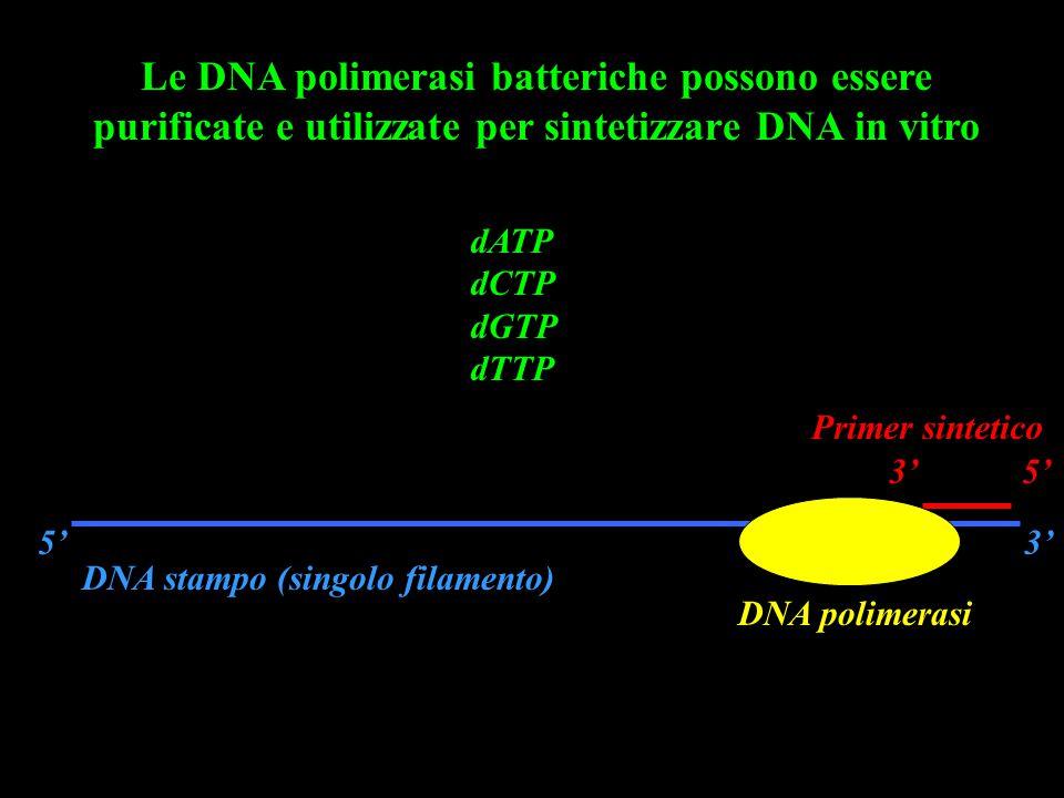 Le DNA polimerasi batteriche possono essere purificate e utilizzate per sintetizzare DNA in vitro DNA stampo (singolo filamento) 5'3' Primer sintetico 3' 5' DNA polimerasi dATP dCTP dGTP dTTP