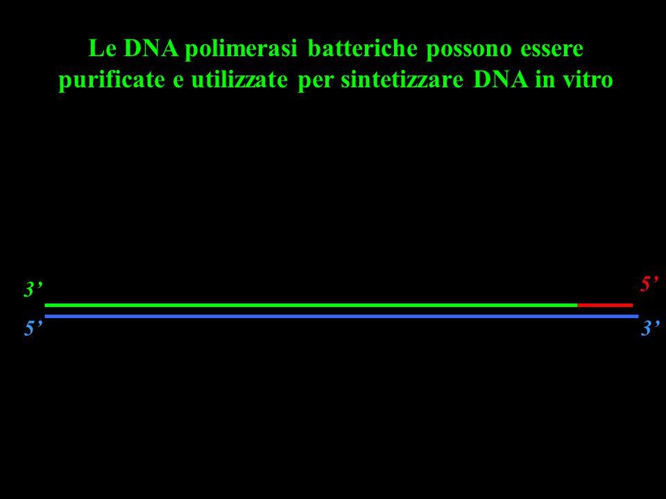 Le DNA polimerasi batteriche possono essere purificate e utilizzate per sintetizzare DNA in vitro 5'3' 5' 3'