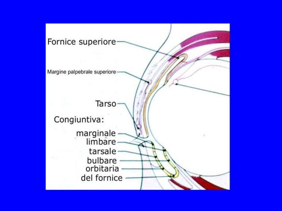 Istologicamente la congiuntiva è costituita di epitelio (colonnare e squamoso) e stroma.