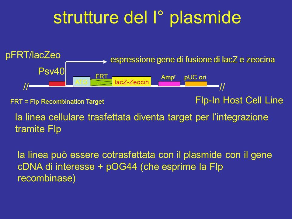 strutture del I° plasmide espressione gene di fusione di lacZ e zeocina pFRT/lacZeo FRT = Flp Recombination Target Psv40 // ATG FRT lacZ-Zeocin Amp r