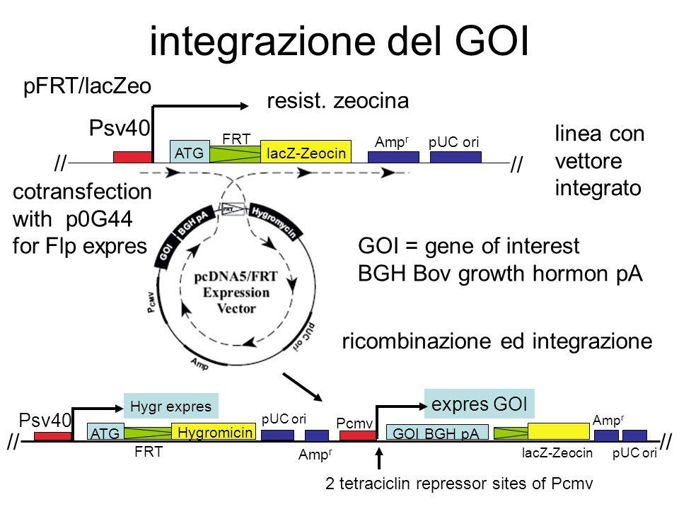 integrazione del GOI Psv40 // ATG FRT lacZ-Zeocin Amp r pUC ori // linea con vettore integrato pFRT/lacZeo resist. zeocina ricombinazione ed integrazi