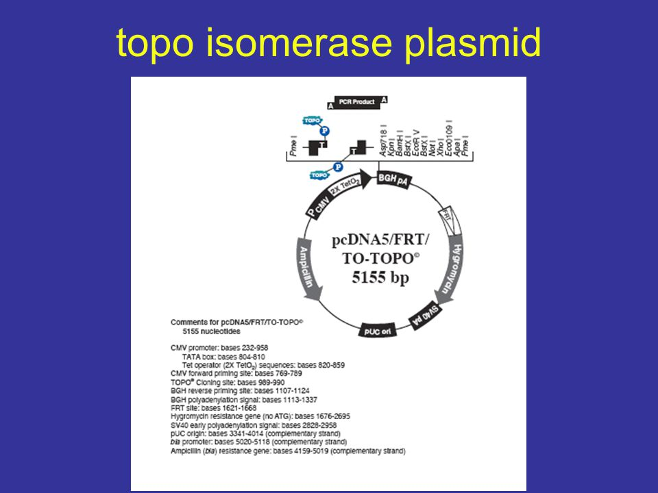 topo isomerase plasmid