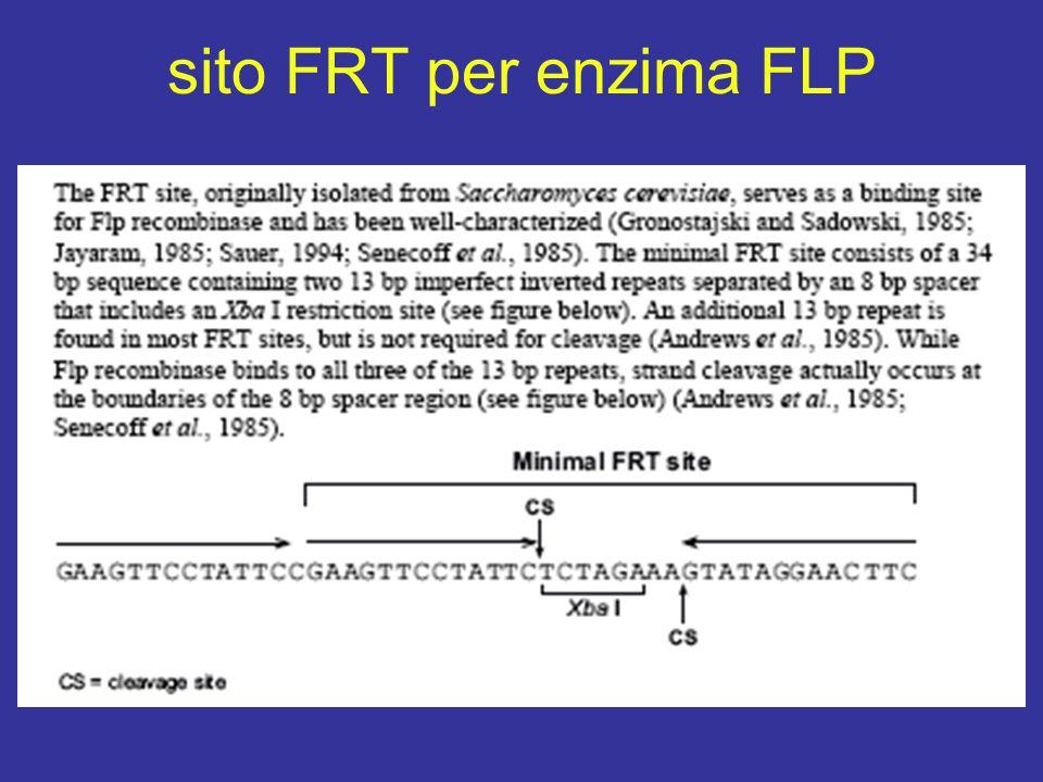 sito FRT per enzima FLP