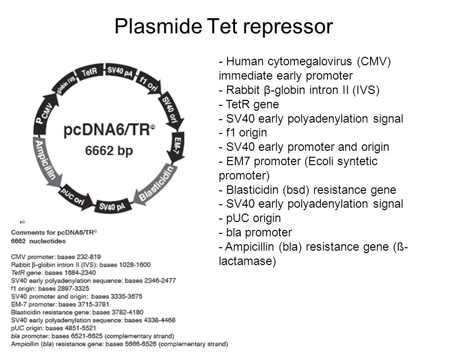 Plasmide Tet repressor - Human cytomegalovirus (CMV) immediate early promoter - Rabbit β-globin intron II (IVS) - TetR gene - SV40 early polyadenylati
