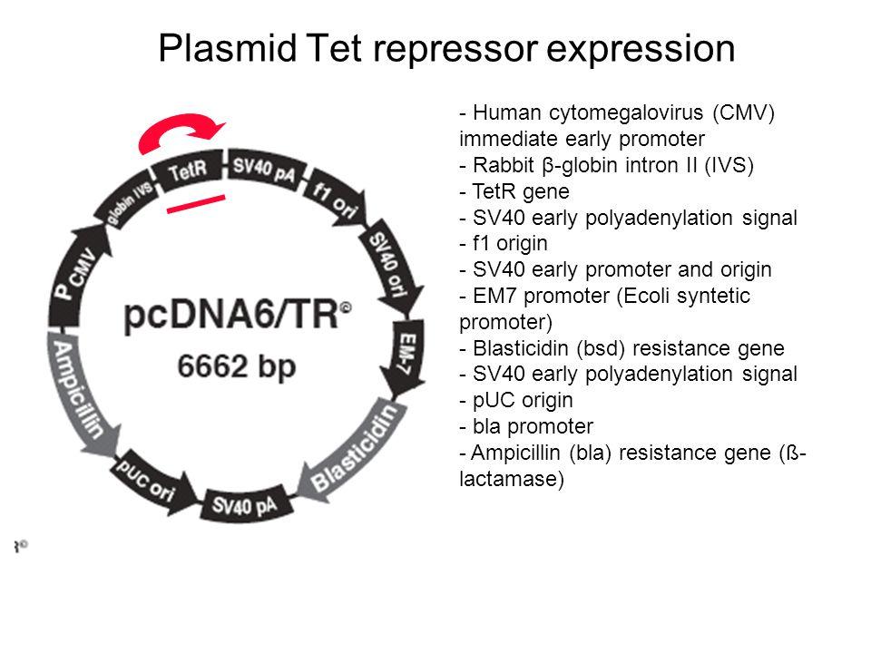Plasmid Tet repressor expression - Human cytomegalovirus (CMV) immediate early promoter - Rabbit β-globin intron II (IVS) - TetR gene - SV40 early pol