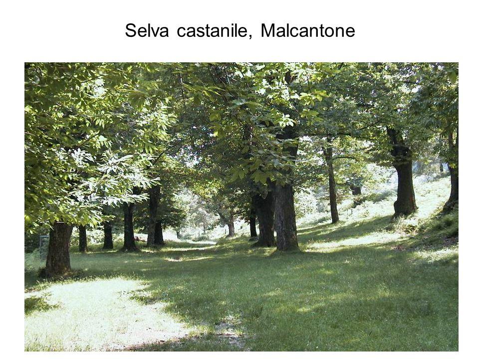 Selva castanile, Malcantone