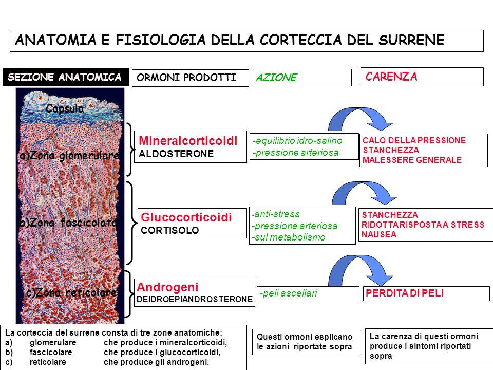 a)Zona glomerulare c)Zona reticolare SEZIONE ANATOMICA b)Zona fascicolata Glucocorticoidi CORTISOLO Androgeni DEIDROEPIANDROSTERONE Capsula - anti-str