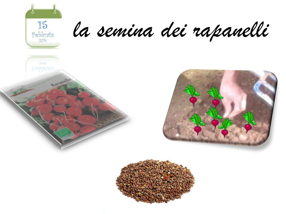 la semina dei rapanelli