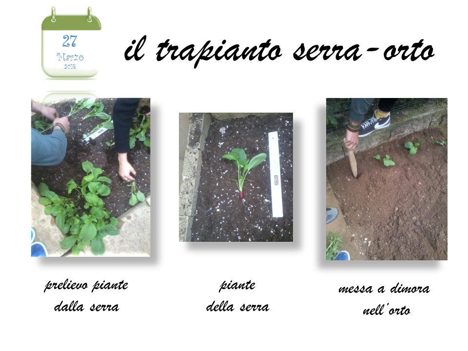 prelievo piante dalla serra piante della serra messa a dimora nell'orto il trapianto serra-orto