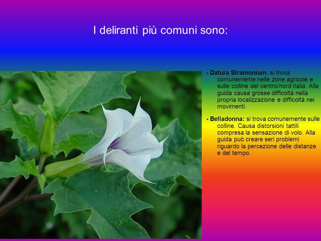 I deliranti più comuni sono: - Datura Stramonium: si trova comunemente nelle zone agricole e sulle colline del centro/nord Italia. Alla guida causa gr