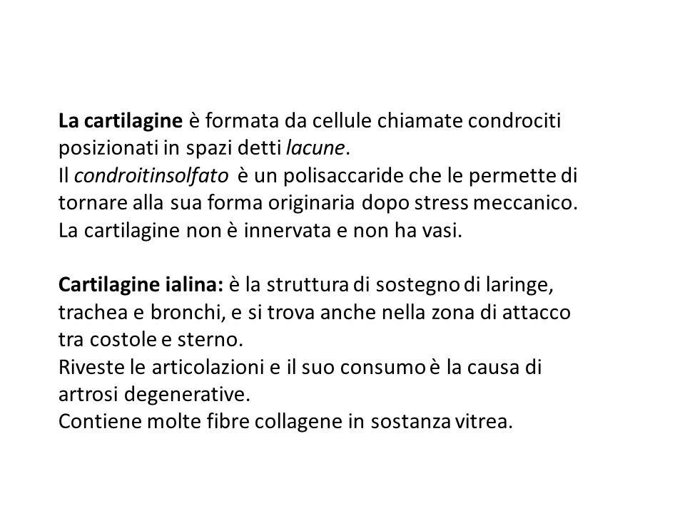 La cartilagine è formata da cellule chiamate condrociti posizionati in spazi detti lacune. Il condroitinsolfato è un polisaccaride che le permette di