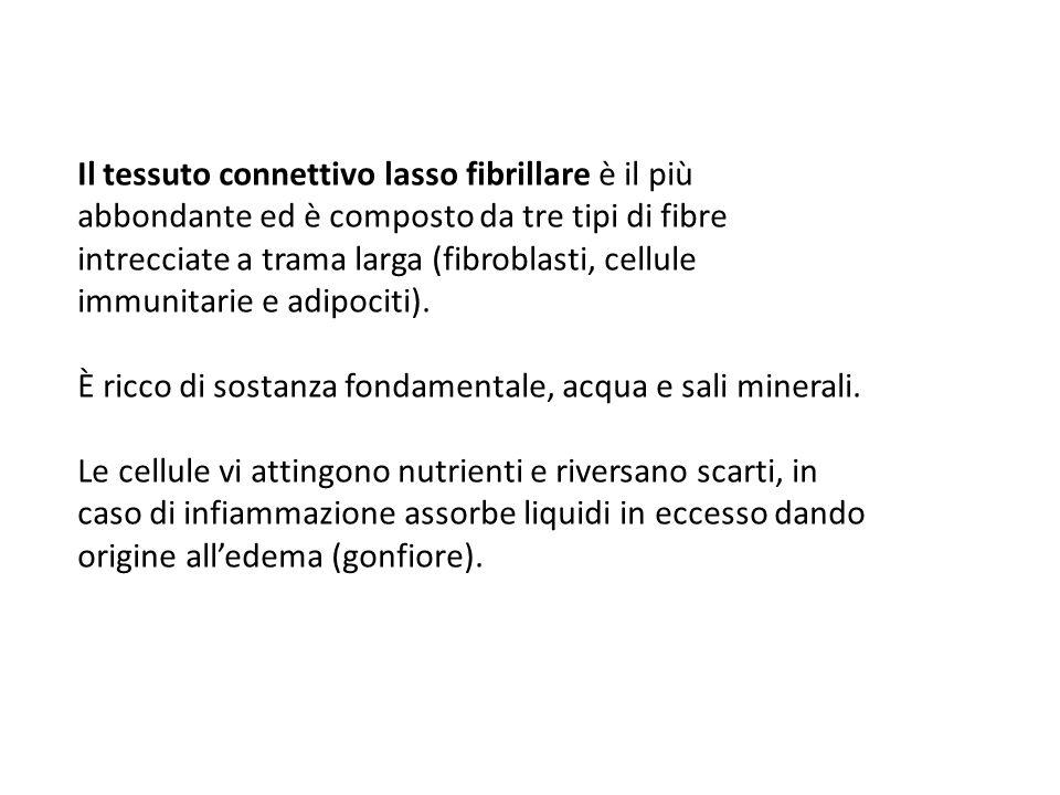 Il tessuto connettivo lasso fibrillare è il più abbondante ed è composto da tre tipi di fibre intrecciate a trama larga (fibroblasti, cellule immunita