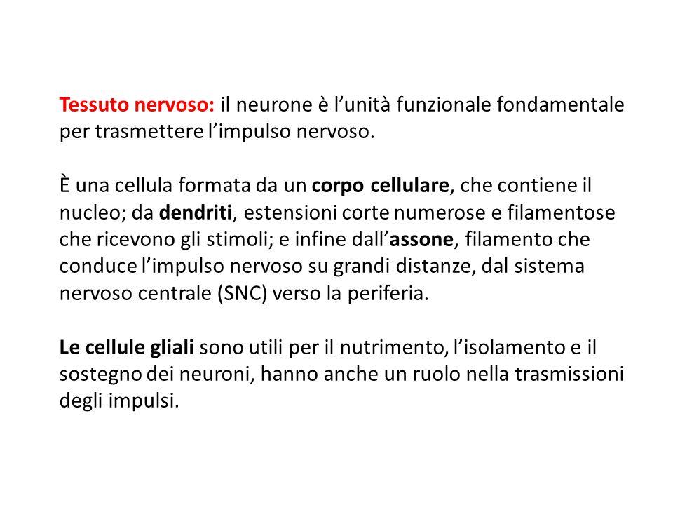 Tessuto nervoso: il neurone è l'unità funzionale fondamentale per trasmettere l'impulso nervoso. È una cellula formata da un corpo cellulare, che cont