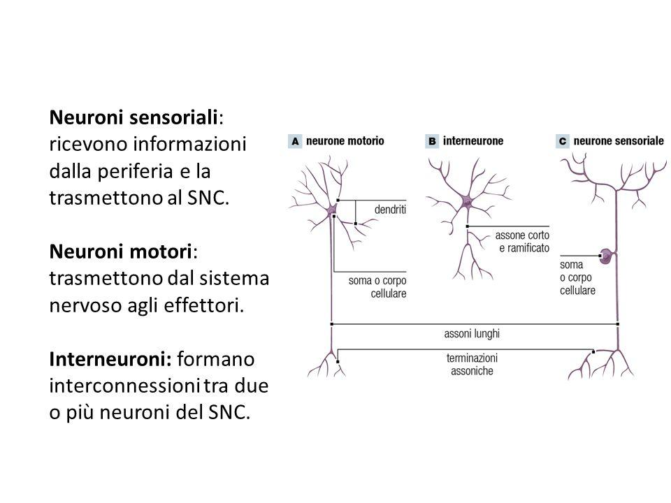 Neuroni sensoriali: ricevono informazioni dalla periferia e la trasmettono al SNC. Neuroni motori: trasmettono dal sistema nervoso agli effettori. Int