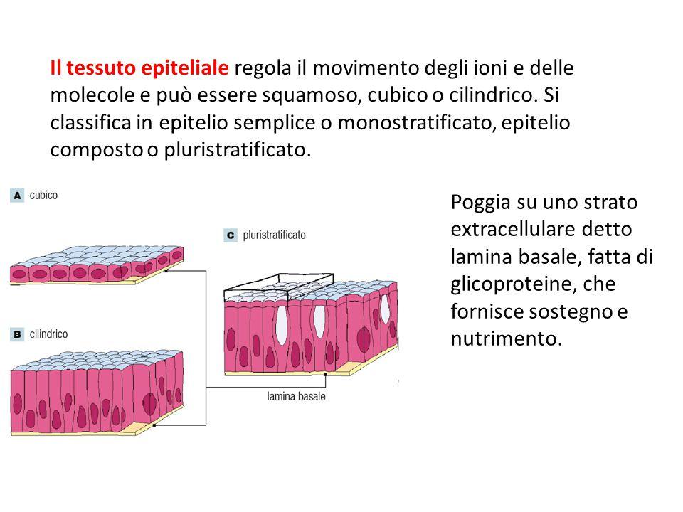 Poggia su uno strato extracellulare detto lamina basale, fatta di glicoproteine, che fornisce sostegno e nutrimento. Il tessuto epiteliale regola il m