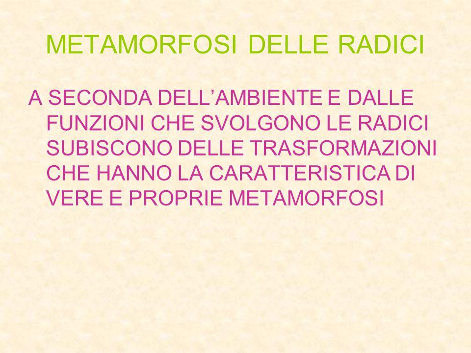 METAMORFOSI DELLE RADICI A SECONDA DELL'AMBIENTE E DALLE FUNZIONI CHE SVOLGONO LE RADICI SUBISCONO DELLE TRASFORMAZIONI CHE HANNO LA CARATTERISTICA DI VERE E PROPRIE METAMORFOSI