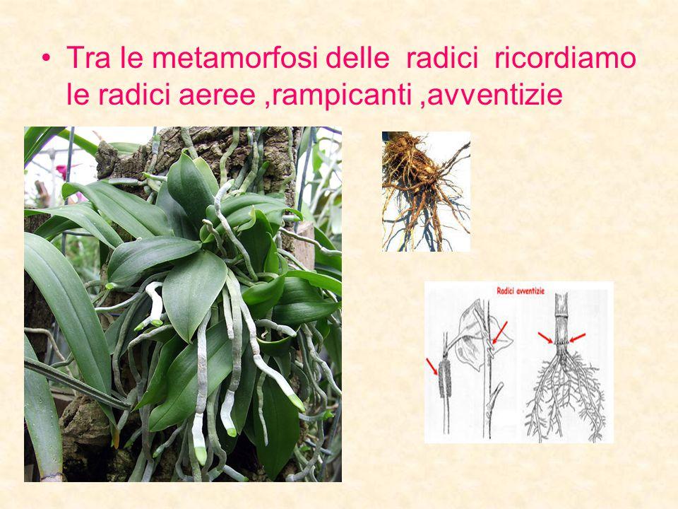 Tra le metamorfosi delle radici ricordiamo le radici aeree,rampicanti,avventizie