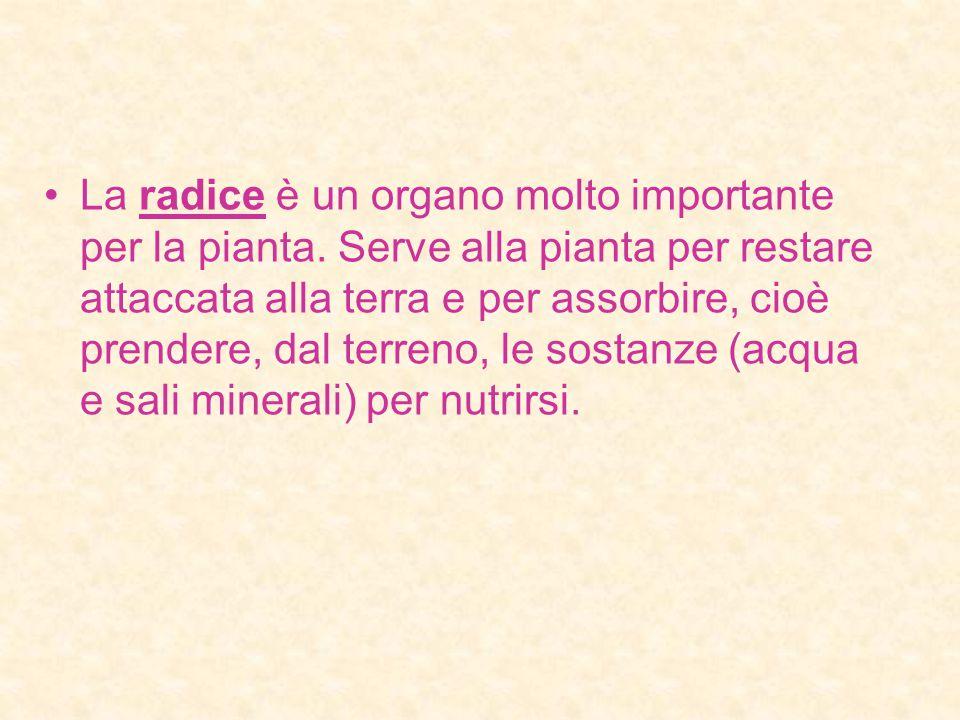La radice è un organo molto importante per la pianta.