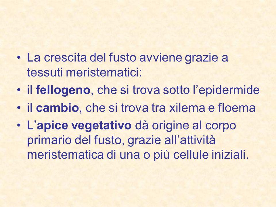 La crescita del fusto avviene grazie a tessuti meristematici: il fellogeno, che si trova sotto l'epidermide il cambio, che si trova tra xilema e floema L'apice vegetativo dà origine al corpo primario del fusto, grazie all'attività meristematica di una o più cellule iniziali.