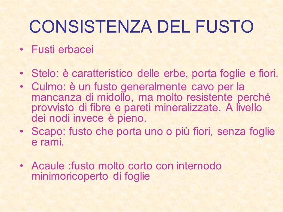 CONSISTENZA DEL FUSTO Fusti erbacei Stelo: è caratteristico delle erbe, porta foglie e fiori.