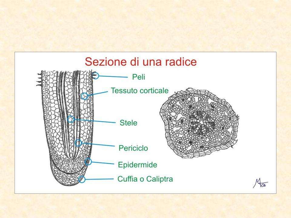TIPI DI RADICE Ci sono due tipi di radice: radice a fittone radice fascicolata La radice a fittone è fatta da una radice principale molto grande, da cui partono tanti piccole ramificazioni.