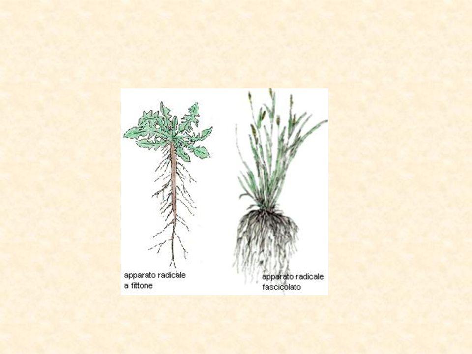 Il fusto è l'organo di sostegno delle piante e stabilisce il collegamento tra foglie e radici.