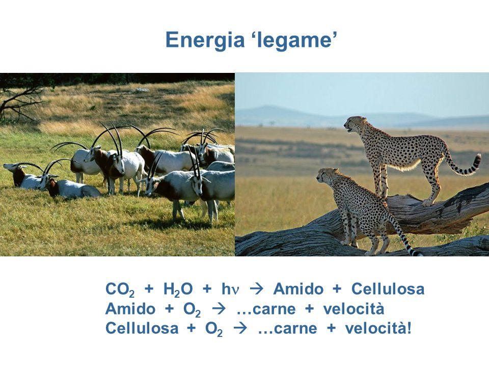 CO 2 + H 2 O + h  Amido + Cellulosa Amido + O 2  …carne + velocità Cellulosa + O 2  …carne + velocità!