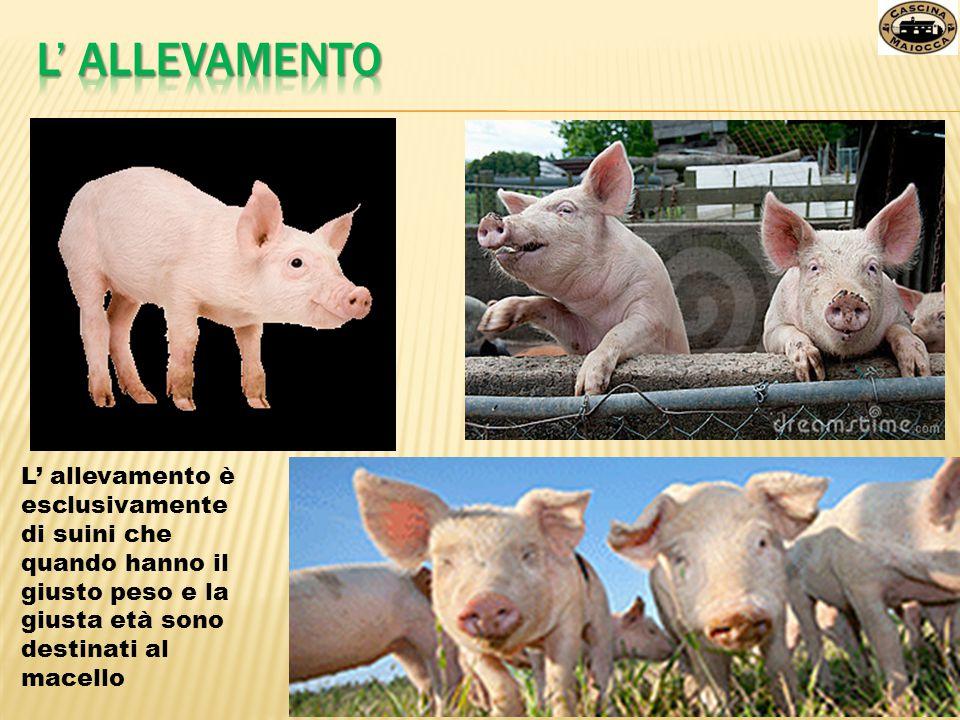 La filiera è il processo da quando il maiale arriva alla fattoria al prodotto finito