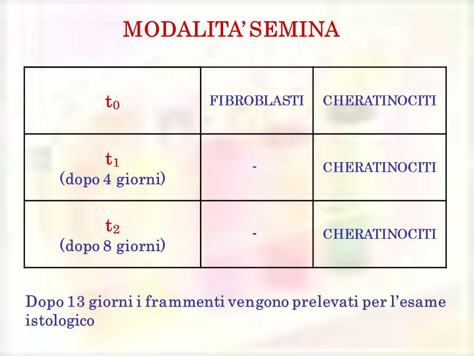 t0t0 FIBROBLASTICHERATINOCITI t 1 (dopo 4 giorni) - CHERATINOCITI t 2 (dopo 8 giorni) - CHERATINOCITI MODALITA' SEMINA Dopo 13 giorni i frammenti vengono prelevati per l'esame istologico