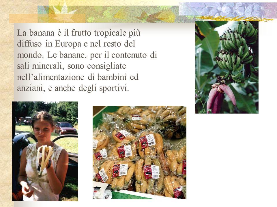 La banana è il frutto tropicale più diffuso in Europa e nel resto del mondo. Le banane, per il contenuto di sali minerali, sono consigliate nell'alime