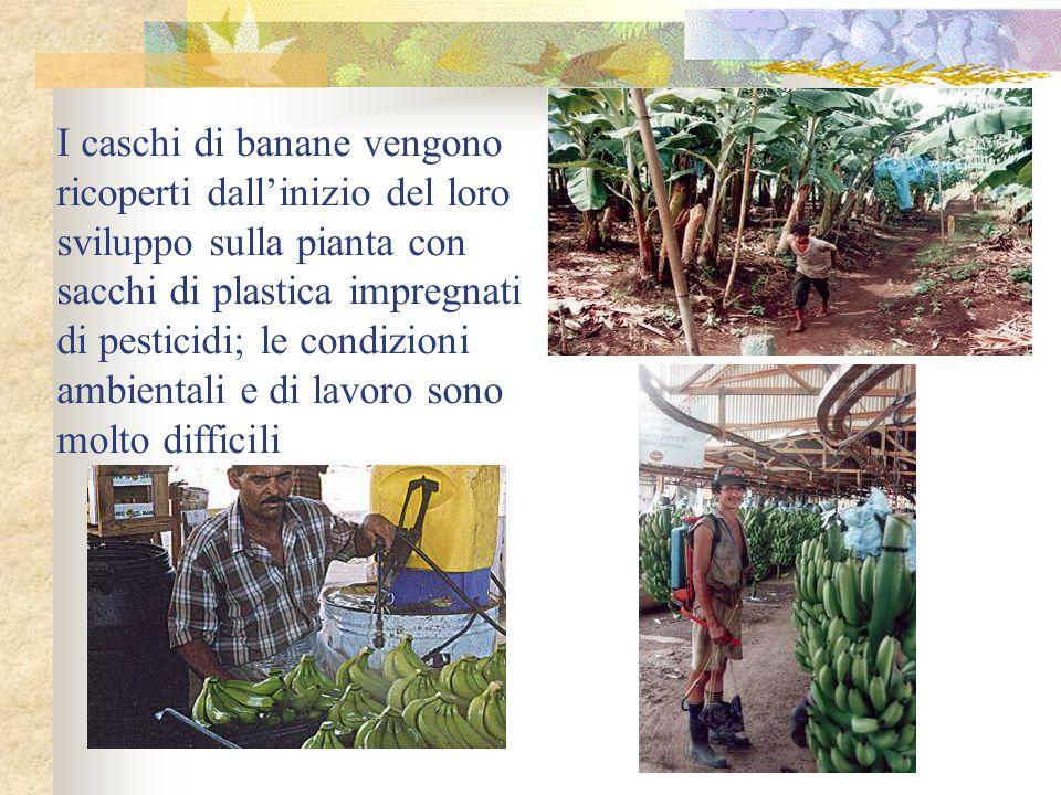 I caschi di banane vengono ricoperti dall'inizio del loro sviluppo sulla pianta con sacchi di plastica impregnati di pesticidi; le condizioni ambienta