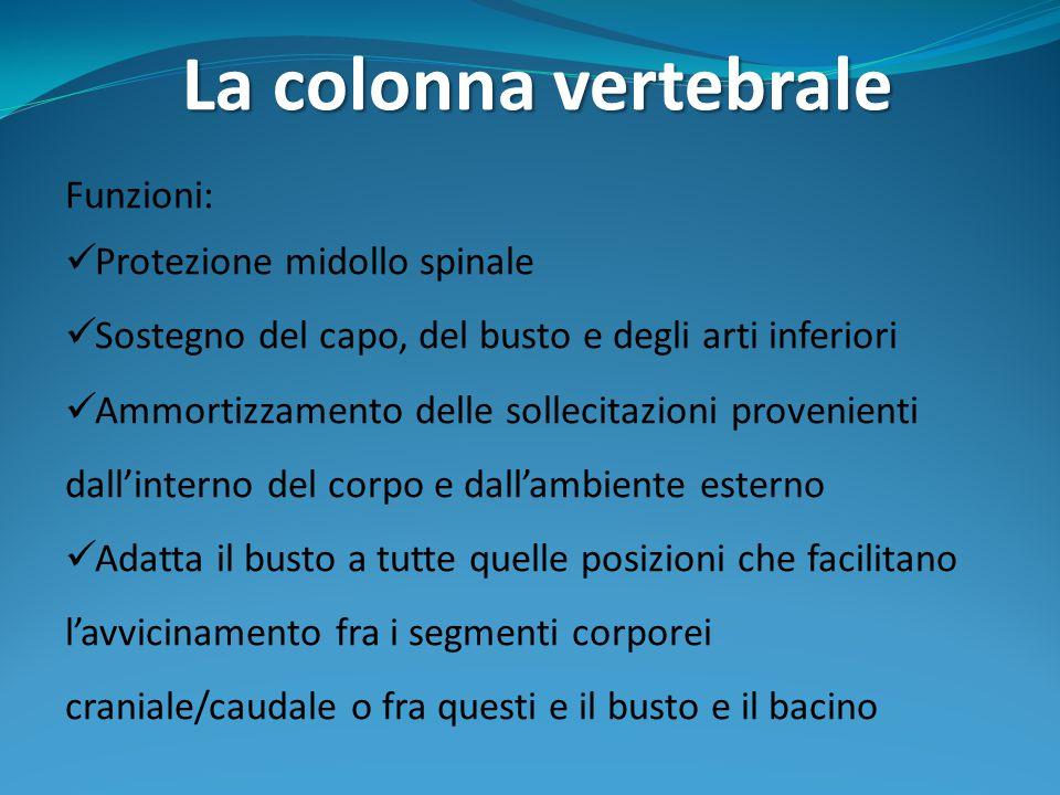 7 vertebre cervicali 12 vertebre dorsali 5 vertebre lombari 5 vertebre sacrali 3-5 vertebre coccigee Morfologia generale