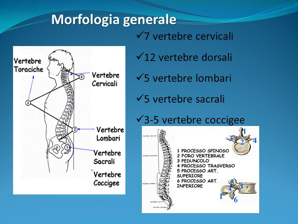 Articolazioni Rachide anteriore: disco intervertebrale e faccette articolari superiori e inferiori dei corpi vertebrali (unità funzionale spinale-FSU) Rachide posteriore: faccette articolari posizionate subito dopo i peduncoli